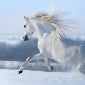 white horse running with mane flowing